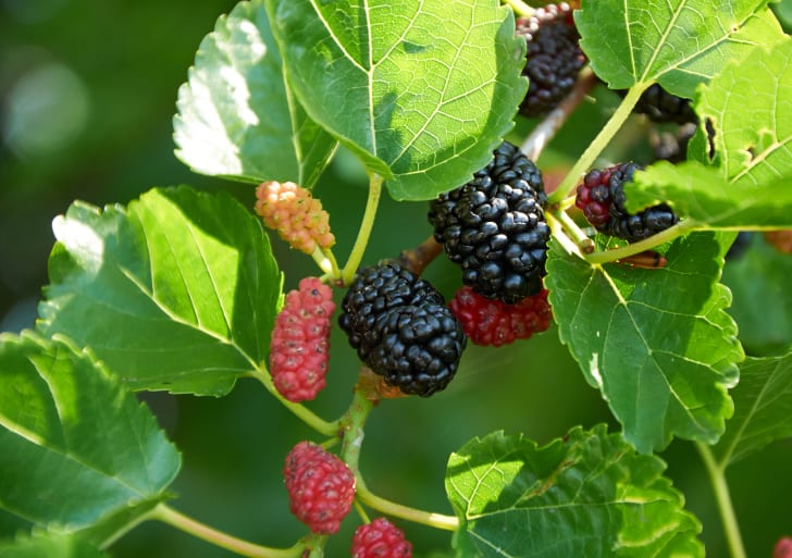 Close up of black, red, and white mulberries on a branch