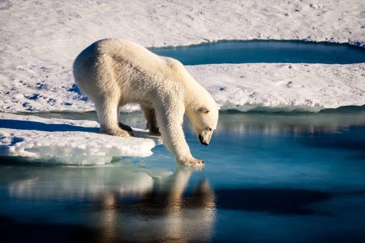 Polar bear placing foot on water.