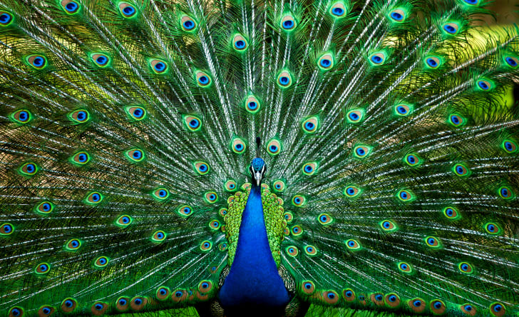 A peacock with its feathers fanned out.