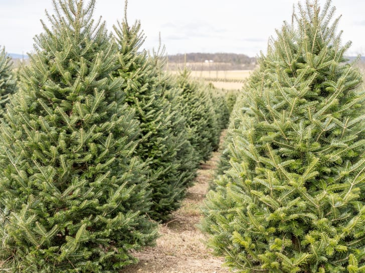 Rows of Christmas trees at tree farm on cold winter morning