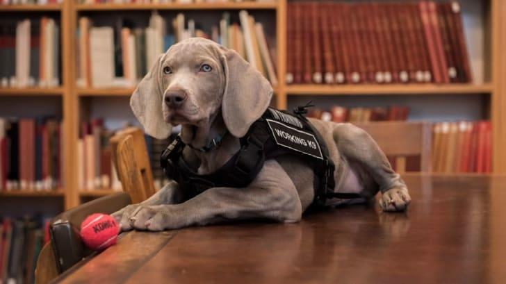 Dog volunteer for MFA.