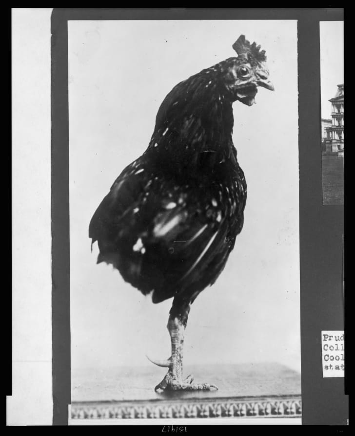 The Roosevelt family's one-legged rooster