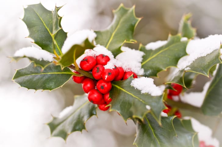 Close up of a branch of holly with red berries covered with snow