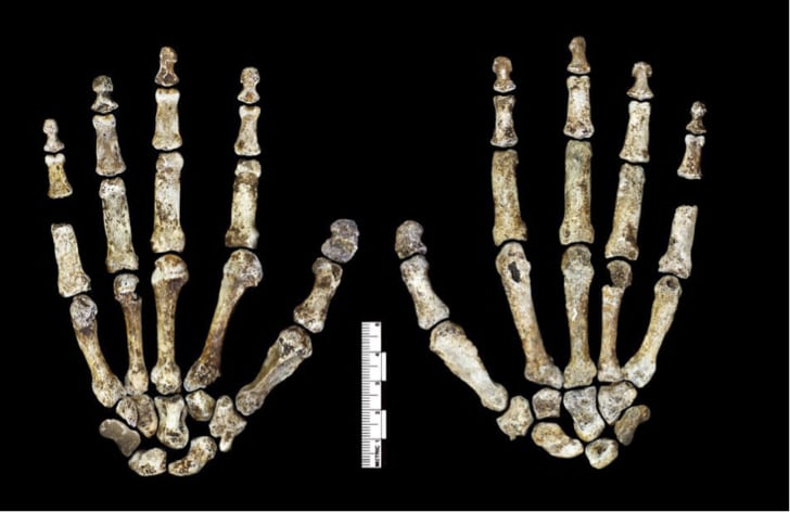 Homo naledi hand skeleton