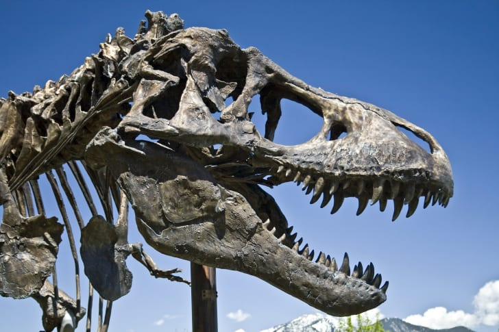 A T. Rex skull with the blue sky in the background.