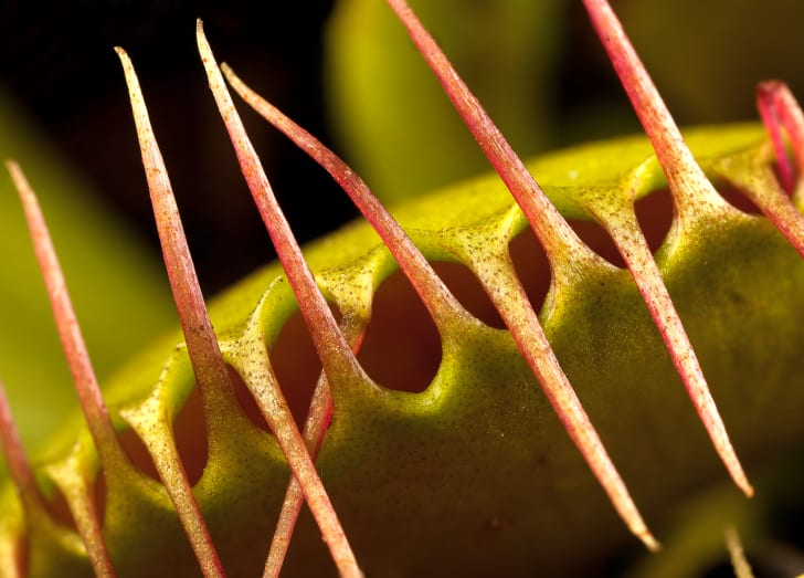 A close-up of a venus fly trap.