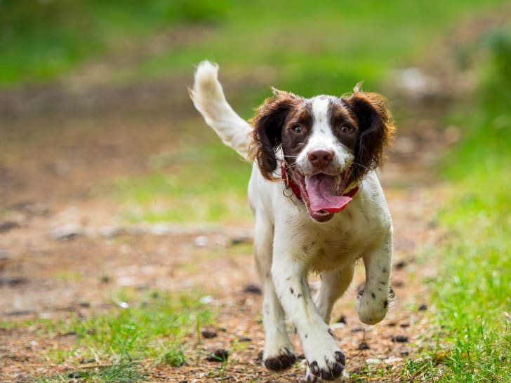 A brown and white dog running with its tongue hanging out.