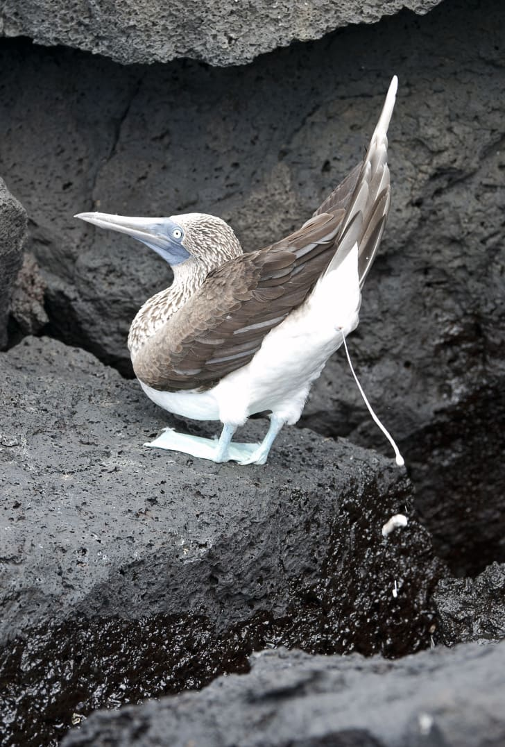 Blue Footed Booby creating guano in Galapagos