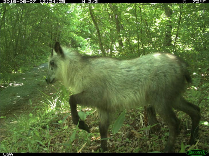 A Japanese serow in Fukushima Prefecture, Japan is pictured