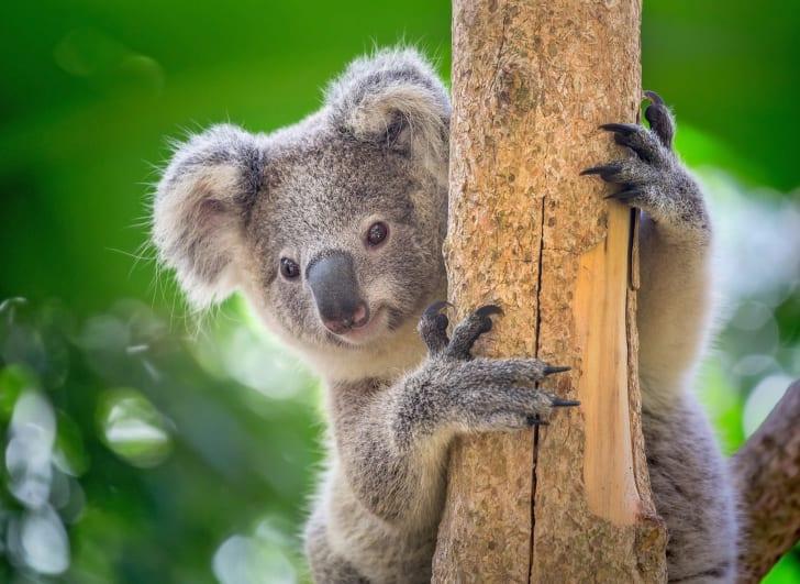 Koala peeking out from a tree