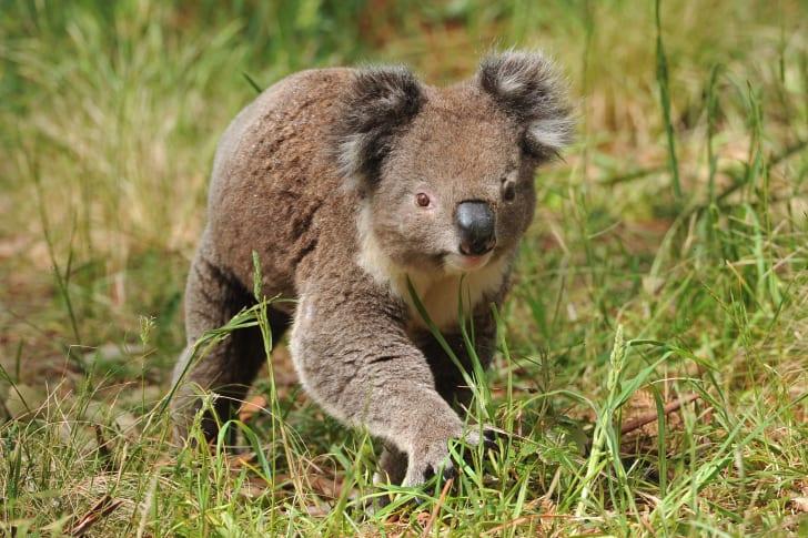 Koala walking on the ground