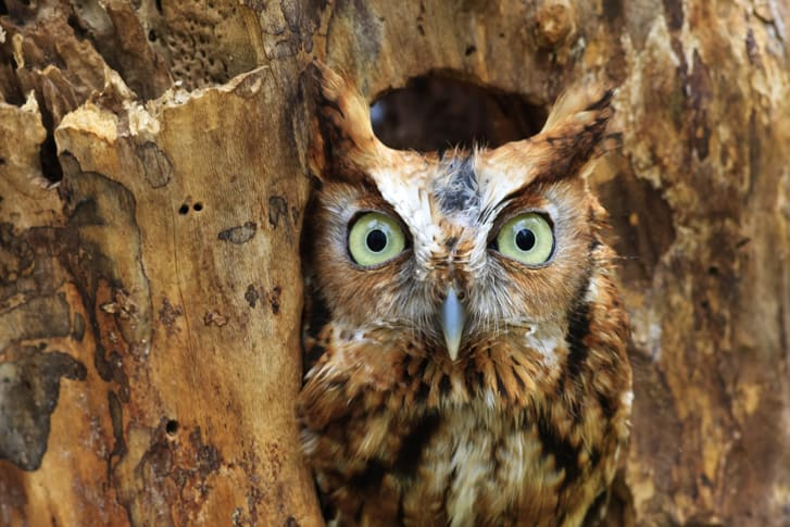 A photo of an Eastern Screech Owl peeking out of hole in the tree