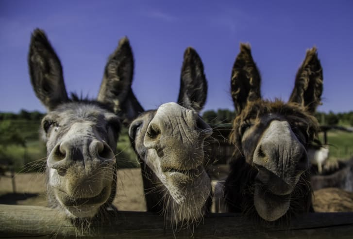 A photo of three smiling donkeys on a farm