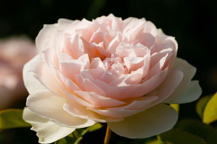A pink Gentle Hermione Rose in bloom