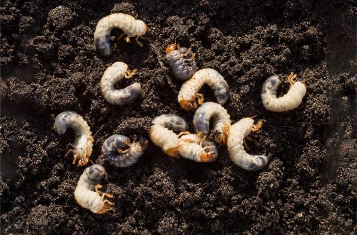 White larvae in the dirt