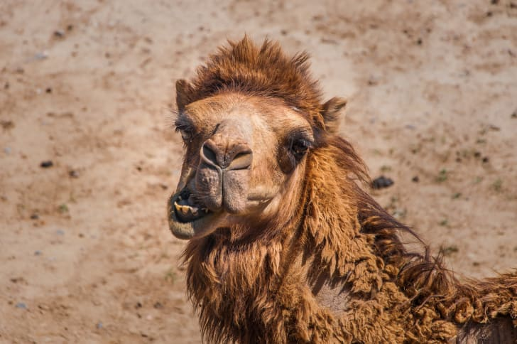 A photo of a camel looking into the camera