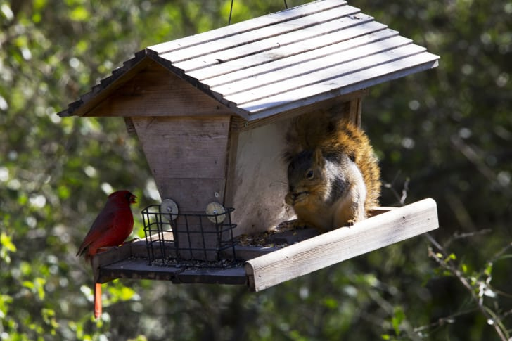 squirrel and cardinal on a birdhouse