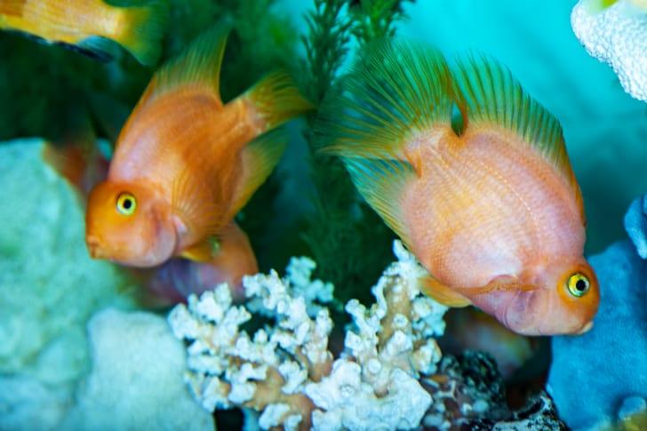 Parrot cichlids swimming in aquarium.