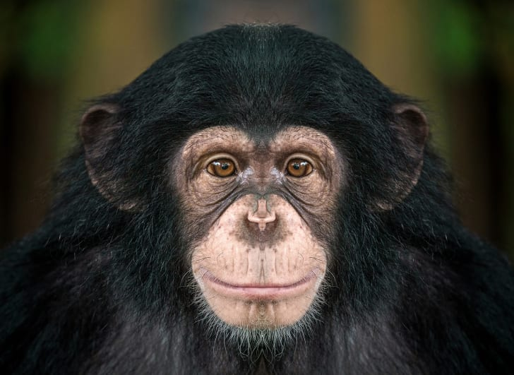 Close-up of chimpanzee.