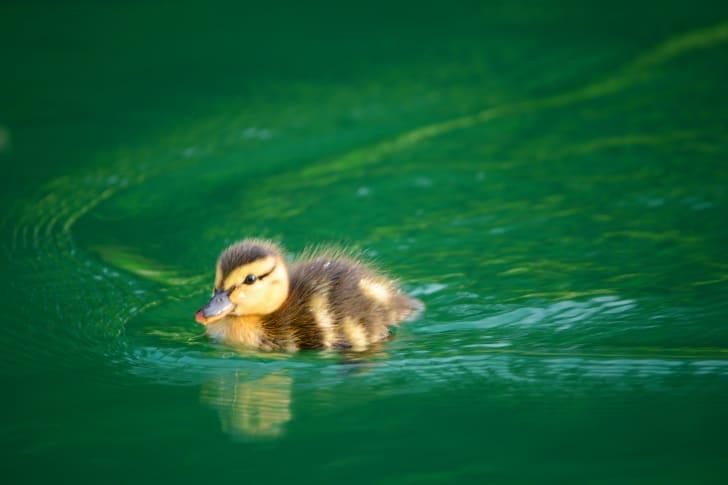 Duckling in water.
