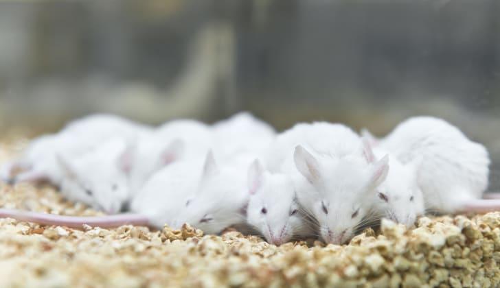 Sleeping mice.