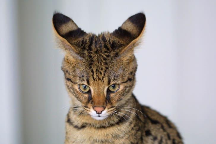 A Savannah cat
