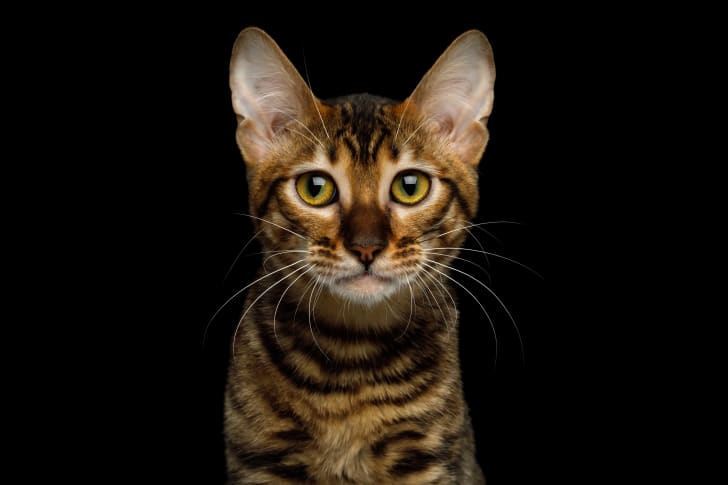 A Toyger cat