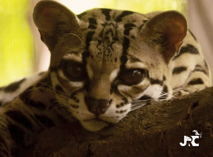 diavolino, a margay at the jaguar rescue center