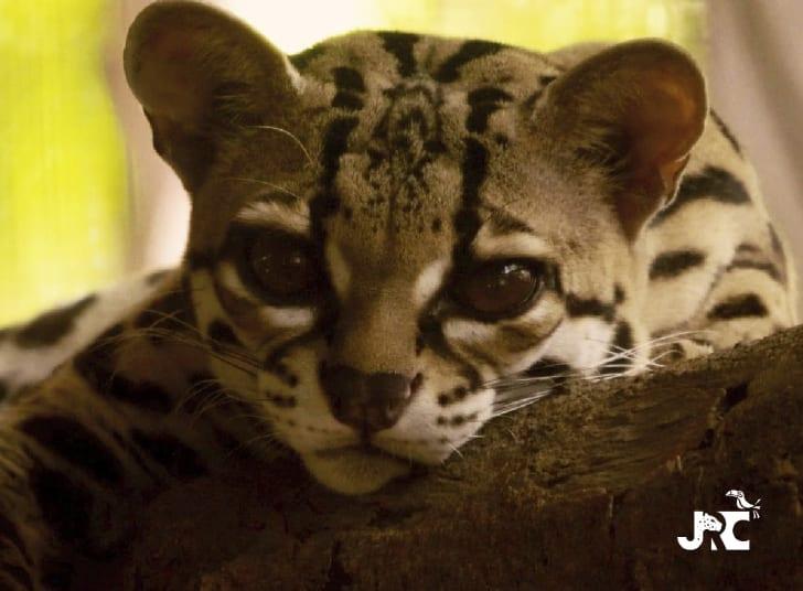 diavolino, a margay at the jaguar rescue center