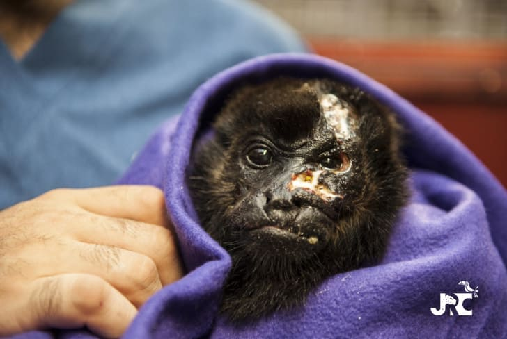 howler monkey at jaguar rescue center