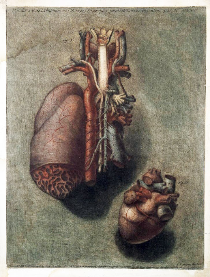 18th century illustration of lungs and heart