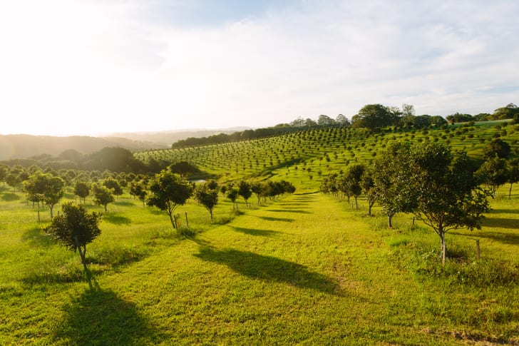 Rows of trees at an Australian Macadamia orchard
