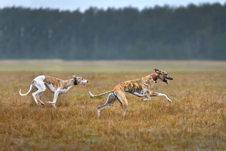Two dogs running in a field.