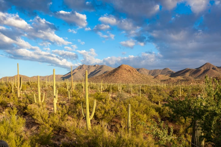 Saguaro National Park with cacti in the foreground and mountains in the background