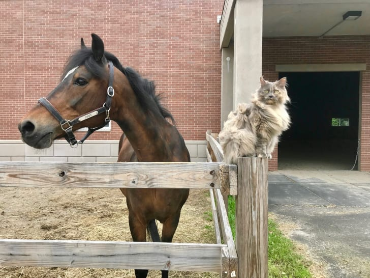 A handsome bay horse stands next to a fluffy gray cat