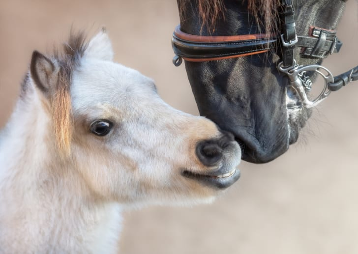 A miniature horse sniffs noses with a larger horse