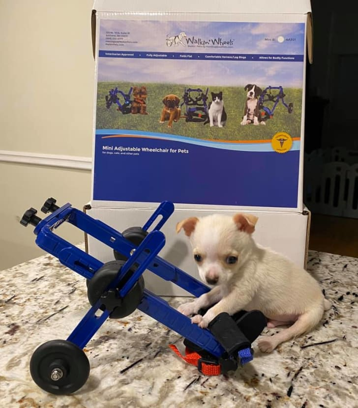 lundy the disabled chihuahua with his wheelchair