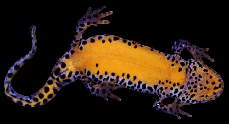 Alpine newt under white light