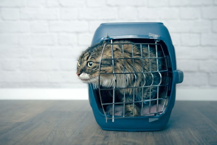 A cat escaping from its carrier.