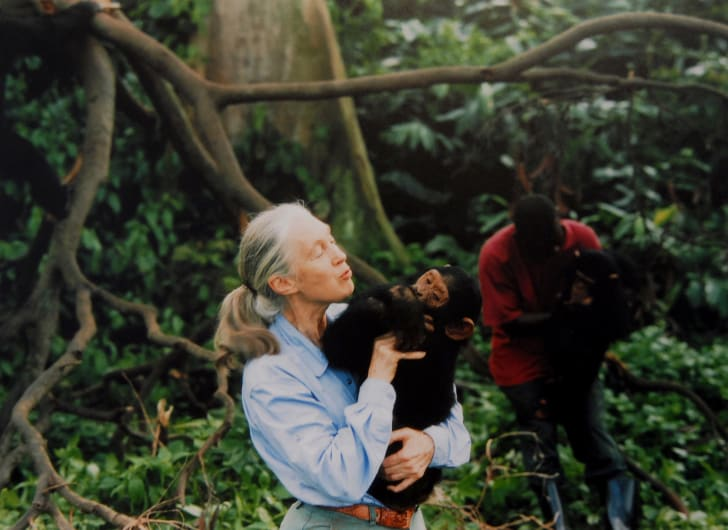 Jane Goodall, English primatologist, ethologist, and anthropologist, with a chimpanzee in her arms in 1995.