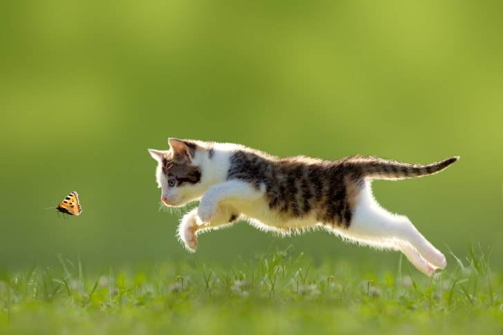 A kitten chases a butterfly
