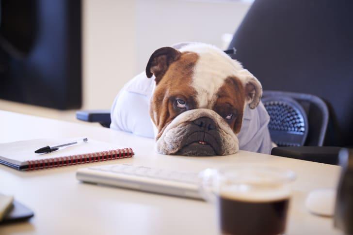 A bulldog in human clothes slumps over a desk