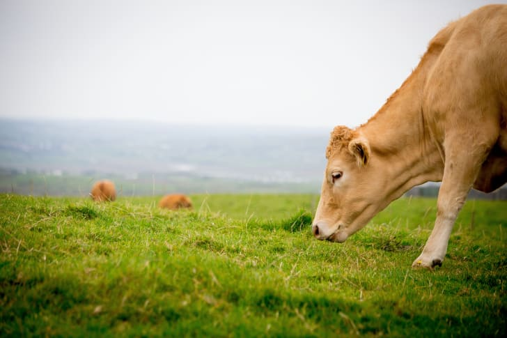 A cow grazing on grass.
