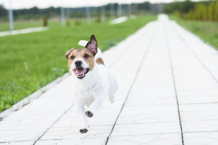 Happy looking dog running down a walkway
