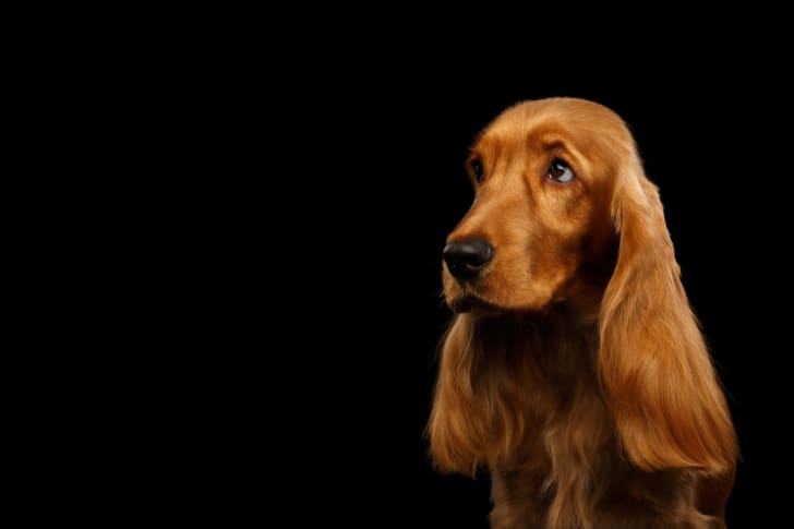 A cocker spaniel against a  black background