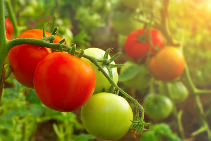 Tomatoes are pictured