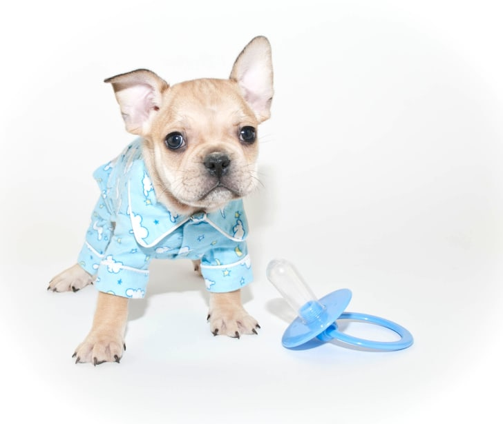Puppy dressed as a baby.