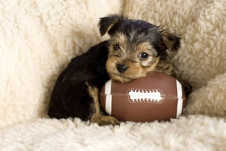 Puppy with a football.