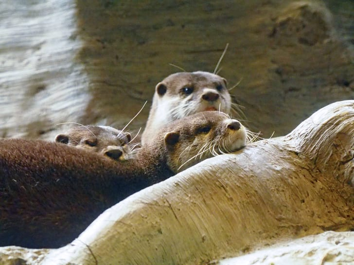 A group of otters near water