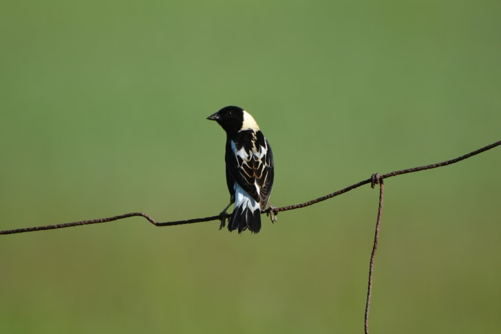 A bobilink bird sits atop a phone wire